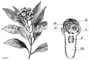 Gewürznelkenbaum