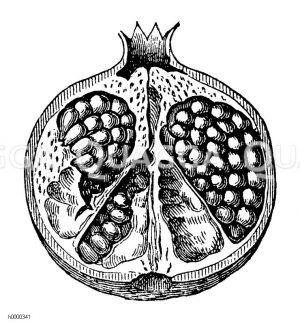 Granatapfel: durchgeschnittene Frucht Zeichnung/Illustration