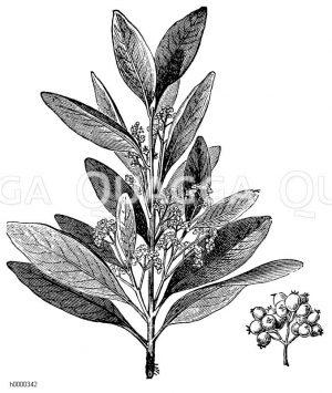 Nelkenpfefferbaum