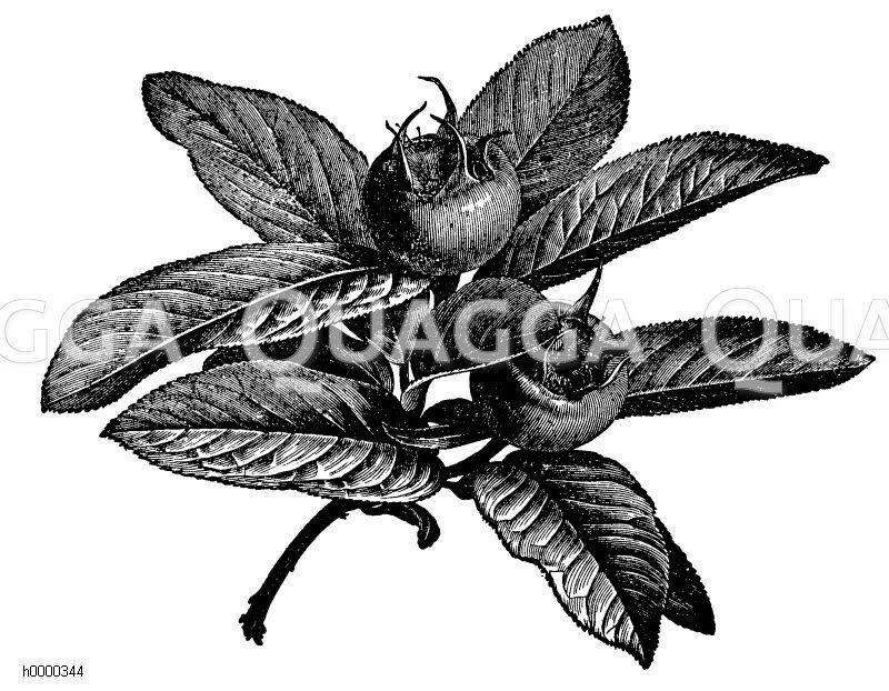 Mispel: Zweig mit Früchten Zeichnung/Illustration