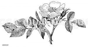 Hundsrose: Blühender Zweig der Hundsrose Zeichnung/Illustration