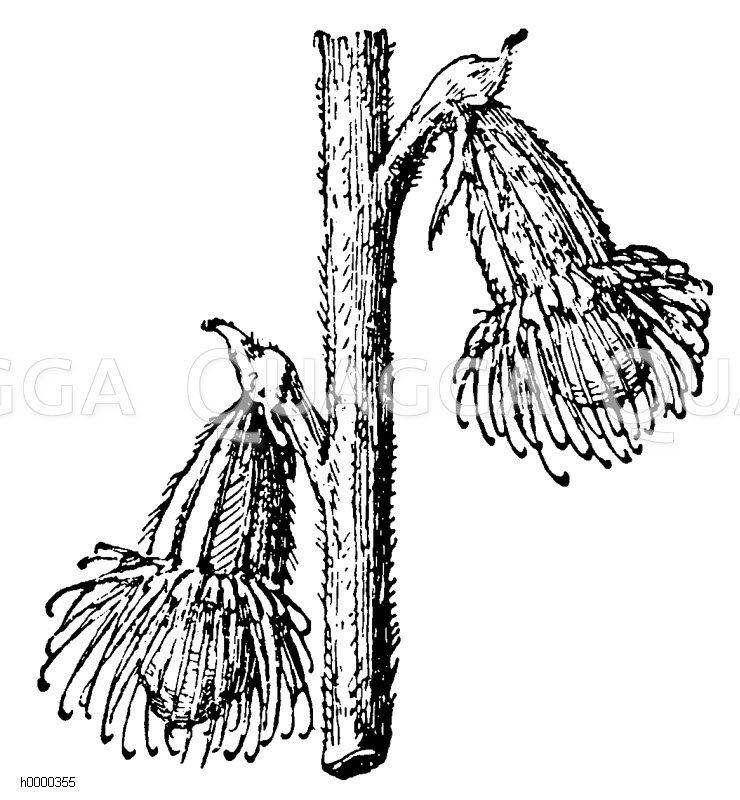 Odermenning: zwei Früchte Zeichnung/Illustration