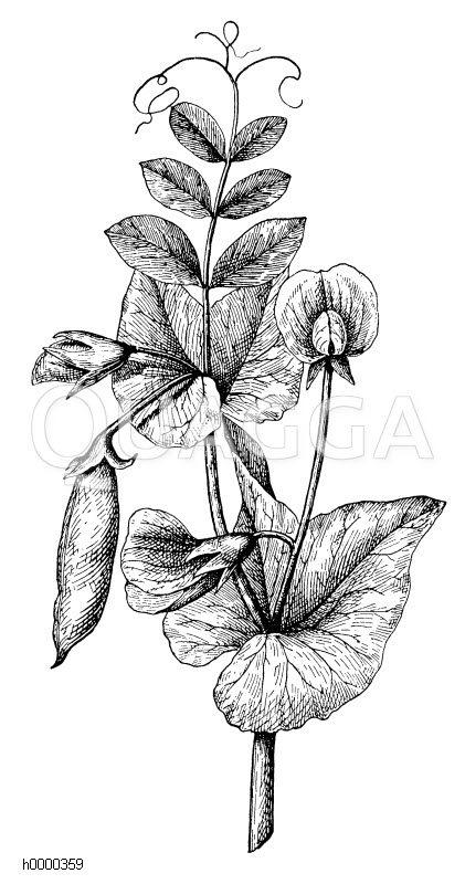 Erbse: blühender und fruchttragender Zweig Zeichnung/Illustration