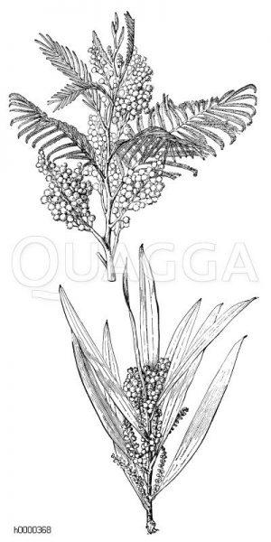 Akazien: Blühende Zweige Zeichnung/Illustration