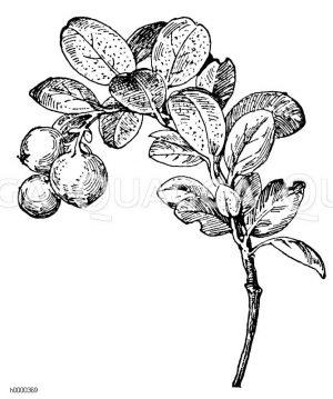 Preißelbeere Zeichnung/Illustration