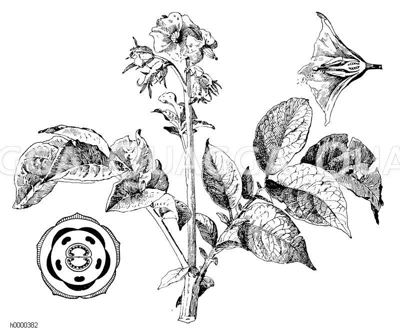 Kartoffelzweig mit halbierter Blüte und Blütengrundriss Zeichnung/Illustration