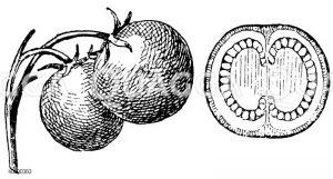 Kartoffel: Frucht Zeichnung/Illustration