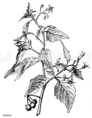 Schwarzer Nachtschatten Zeichnung/Illustration