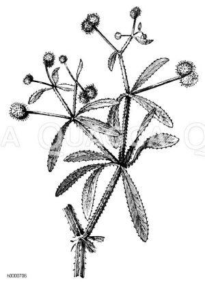 Klebkraut: fruchttragender Zweig Zeichnung/Illustration