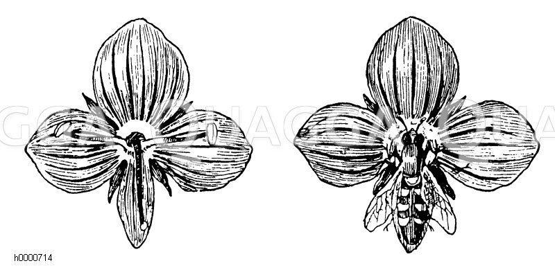 Gamander-Ehrenpreis: Blüten Zeichnung/Illustration