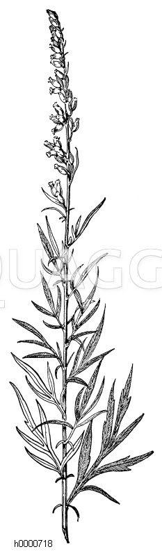 Beifuß: Zweig Zeichnung/Illustration