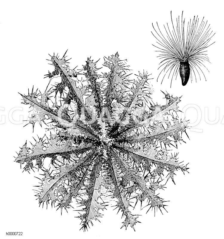 Nickende Distel: Blattrosette in Herbst und Winter