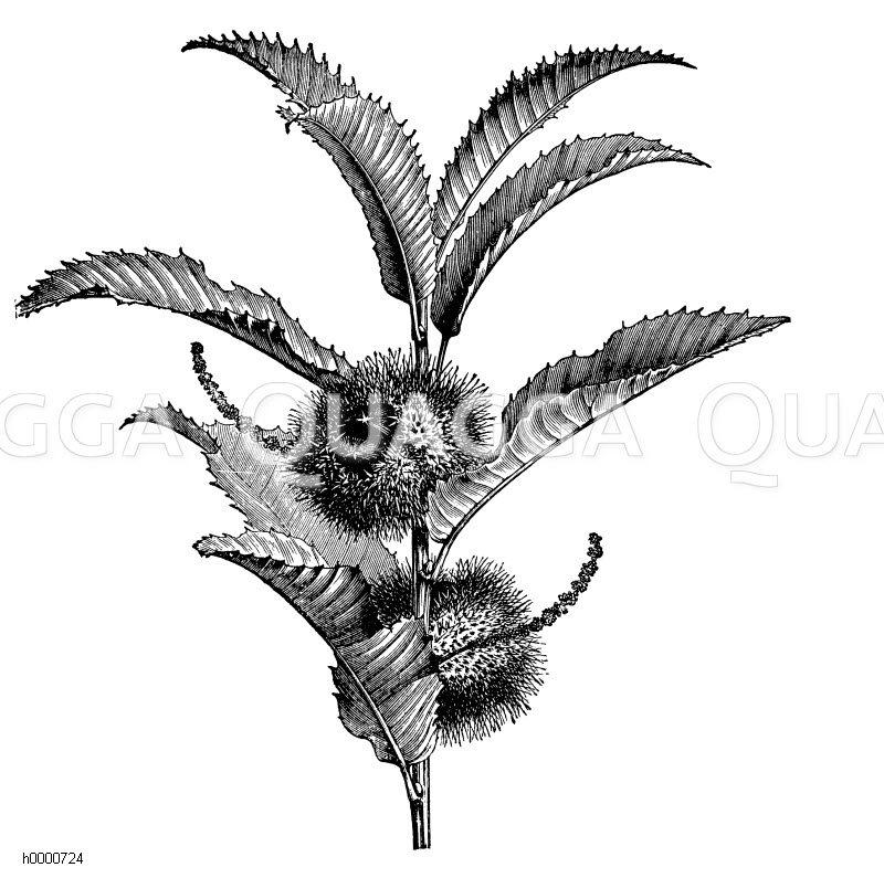 Edelkastanie: Zweig mit jungen Früchten und vertrockneten Staubkätzchen Zeichnung/Illustration