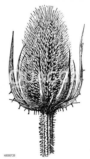 Kardendistel: Fruchtstand Zeichnung/Illustration
