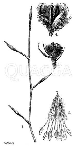 Buche: 1. Zweigstück im Winter