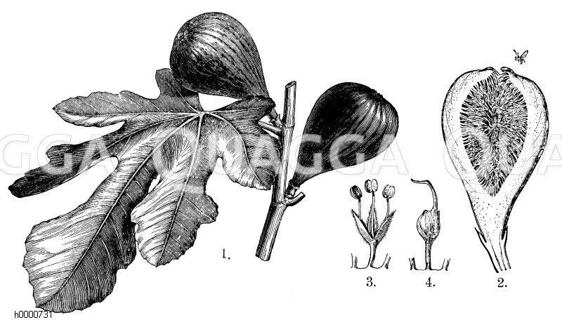 Feigenbaum: 1. Zweigstück mit zwei Feigen