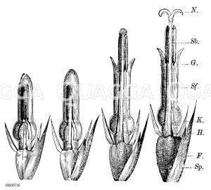 Helianthus annuus - Sonnenblume: Entwicklung der Röhrenblüte. Sp. Spreublatt