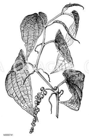 Schwarzer Pfeffer: oben zwei Blütenstände