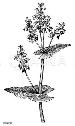 Buchweizen: Zweigstück mit Blüten und halbreifen Früchten Zeichnung/Illustration