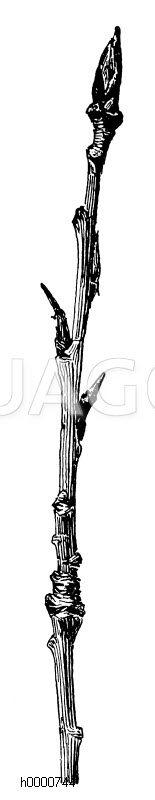 Schwarzpappel: Zweigstück im Winter Zeichnung/Illustration