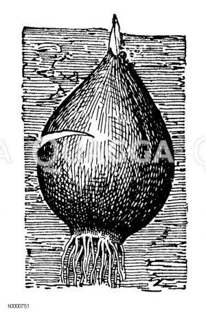 Austreibende Tulpenzwiebel Zeichnung/Illustration