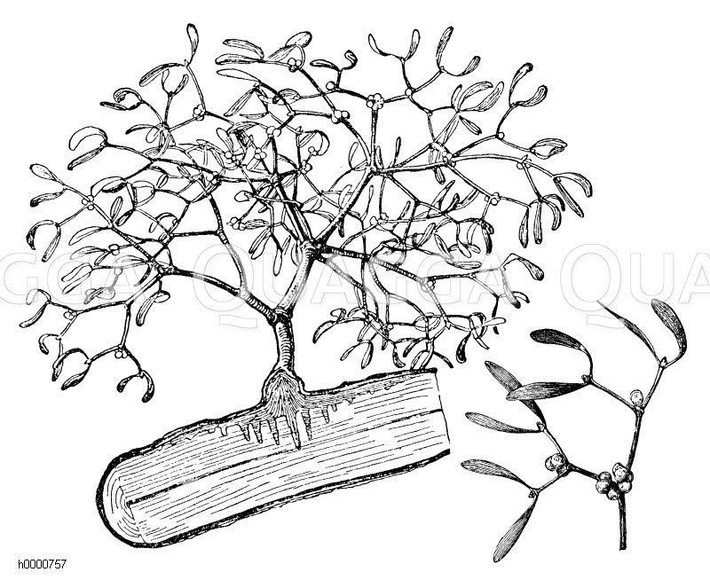 Mistel Zeichnung/Illustration