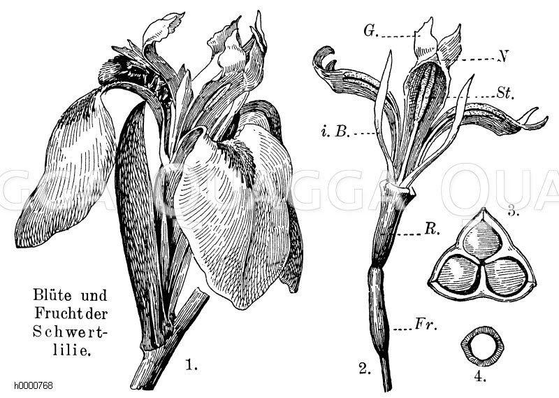 Schwertlilie: 1. von Hummel besuchte Blüte mit Hüllblättern und Lablatt