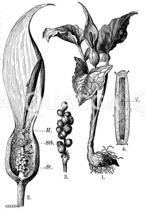 Araceae - Aronstabgewächse