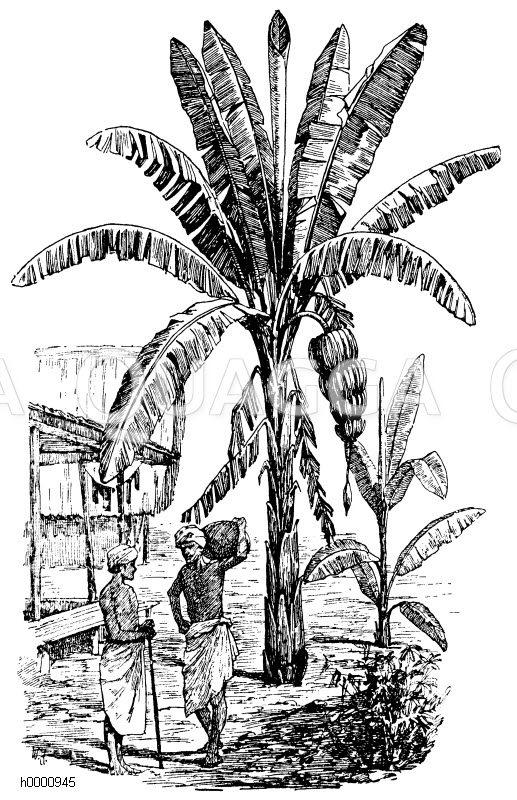 Banane Zeichnung/Illustration
