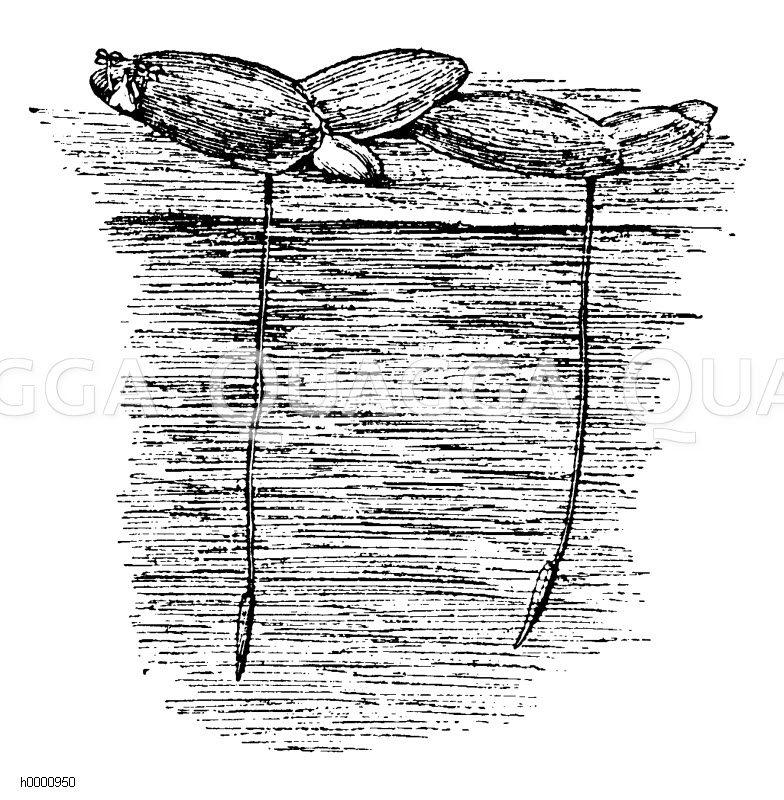 Lemnaceae - Wasserlinsengewächse