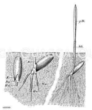Keimung des Roggenkorns
