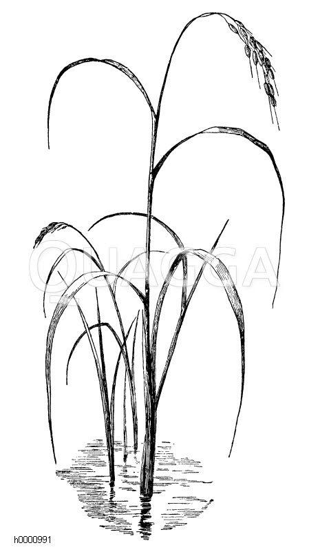 Reis Zeichnung/Illustration