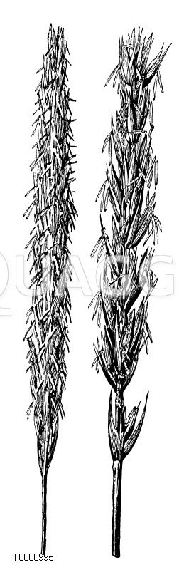 Strandhafer (links) und Strandroggen (rechts) Zeichnung/Illustration