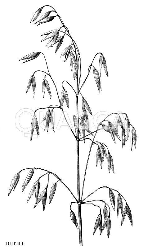 Hafer: Fruchtrispe Zeichnung/Illustration