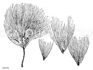 Fruchährchen des Wollgrases mit einigen losgelösen Früchten Zeichnung/Illustration