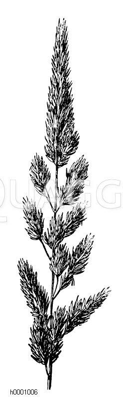 Glanzgras Zeichnung/Illustration