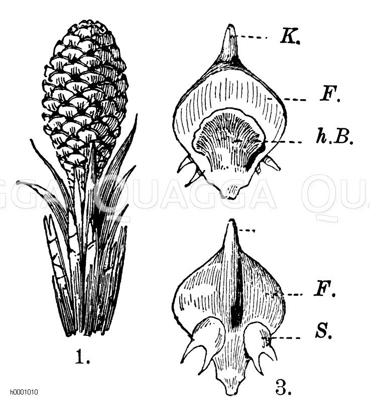 Kiefer: Samenblüte