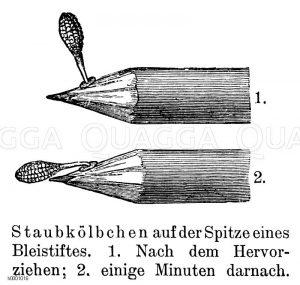 Breitblättriges Knabenkraut
