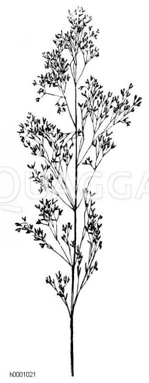 Straußgras Zeichnung/Illustration