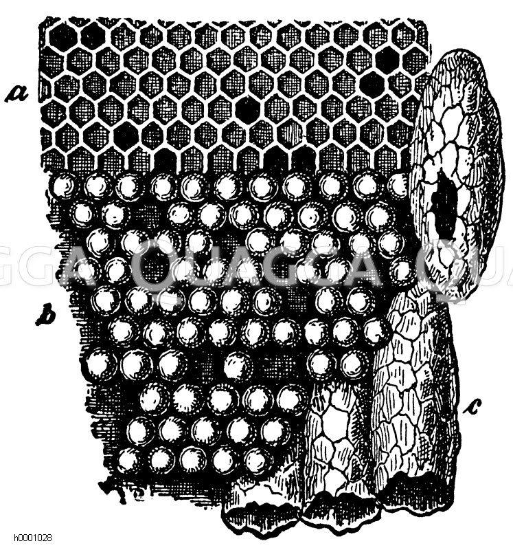 Bienenwabe Zeichnung/Illustration