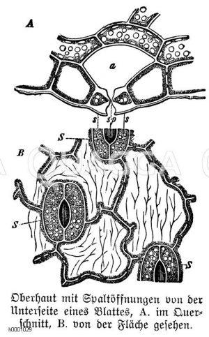 Blattoberhaut mit Spaltöffnungen Zeichnung/Illustration