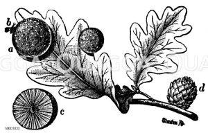 Galläpfel Zeichnung/Illustration