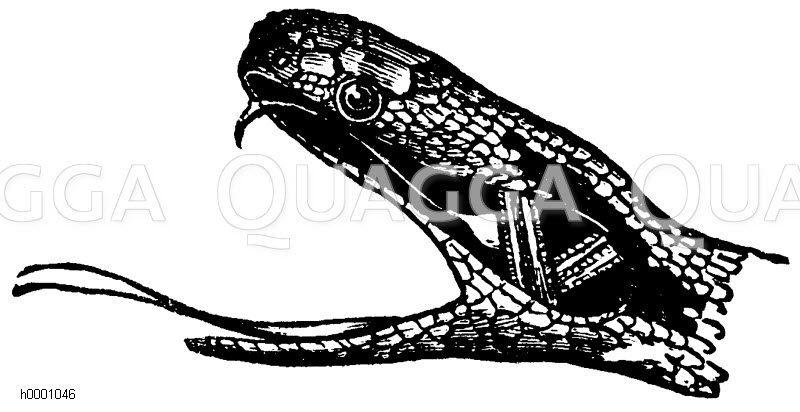 Kreuzotter: Kopf Zeichnung/Illustration