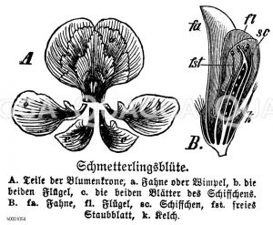 Schmetterlingsblüte Zeichnung/Illustration