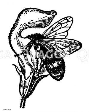 Hummel Zeichnung/Illustration