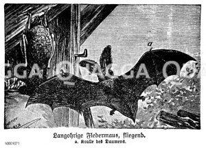 Langohrige Fledermaus Zeichnung/Illustration