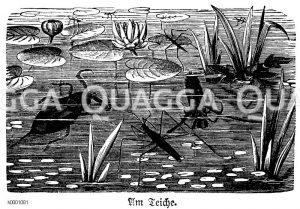 Wasserläufer u.a. am Teich Zeichnung/Illustration