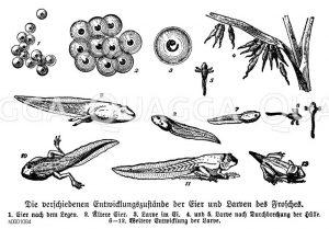 Frosch: Entwicklungsstadien Zeichnung/Illustration
