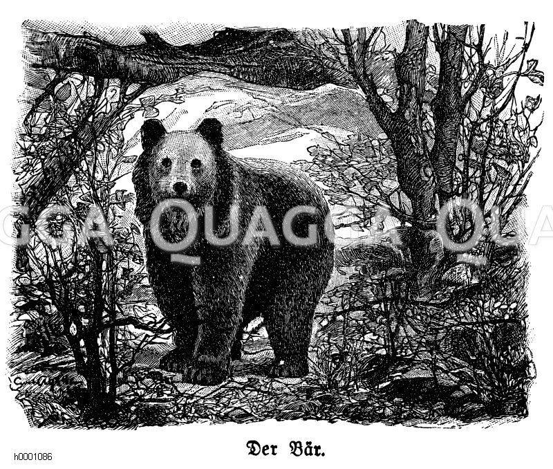 Bär Zeichnung/Illustration
