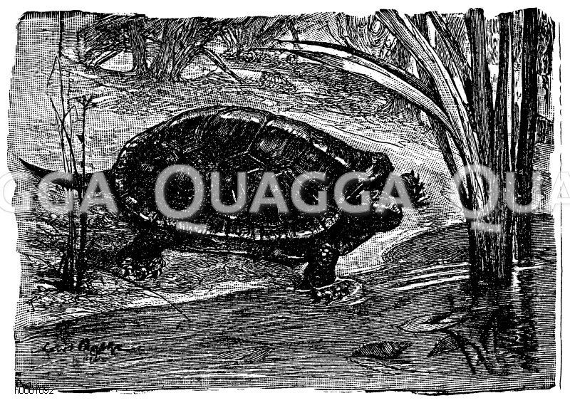 Europäische Sumpfschildkröte Zeichnung/Illustration